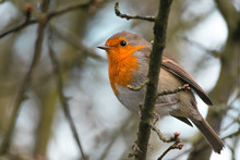 A Robin Redbreast Perched On A Branch In The Trees