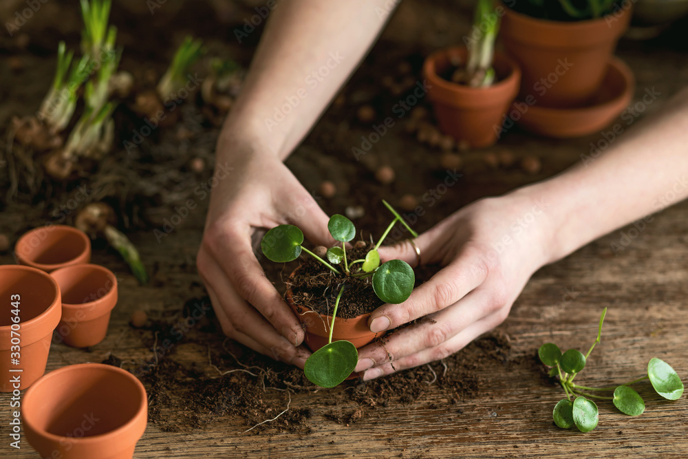 Fototapeta Woman gardener is transplanting beautiful plants, cacti, succulents to ceramic pots and taking care of home flowers on the retro wooden table for her concept of home garden.