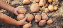 Dig Potatoes In The Garden. Se...