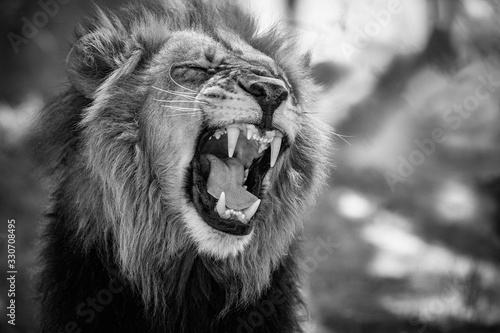 Fototapety, obrazy: Beautiful lion male portrait in black and white. Wild animal in the nature habitat. African wildlife. This is Africa. Lions leader. Panthera leo.