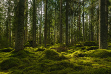 Beautiful Green Fir And Pine Forest In Sweden