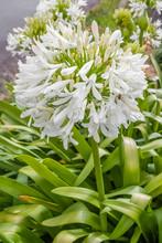 Agapanthus Blanc