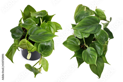 Tropical 'Philodendron Scandens' house plant in flower pot isolated on white background