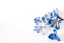 Blue Flowers Crocuses On A Whi...