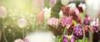 tulpen rot violett panorama konzept