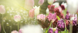 Fototapeta Tulips - tulpen rot violett panorama konzept