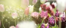 Tulpen Rot Violett Panorama Ko...