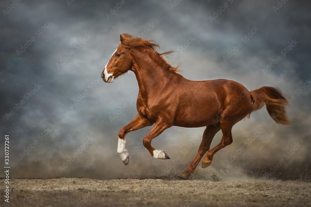 Fototapeta horse runs gallop in a field