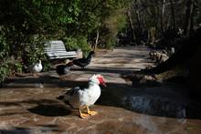 Four Musk Ducks On A Walkway I...