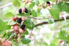 Ripening Mulberry Berries. Mul...