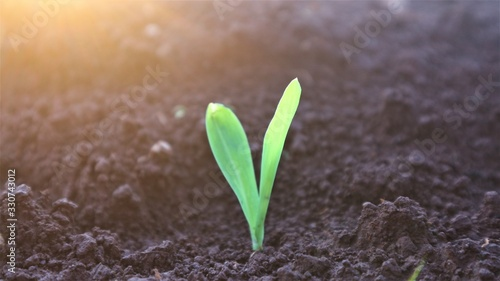 Photo Corn seedlings with sunlight Thailand