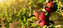 Apple Trees On An Organic Fruit Farm
