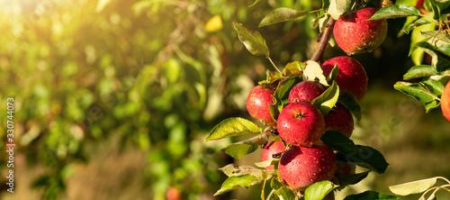 Photo Apple trees on an organic fruit farm