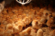 canvas print picture - Newly hatched little chicks on a chicken farm heated by lamps