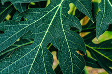Abstract Green Leaf Texture, Nature For Background, Tropical Leaf