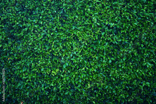 Natural green leaf wall, Texture background - 330756020