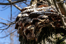 Mushrooms Are Parasites On A Tree. Backgrounds And Textures.Close-up