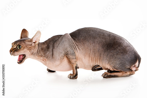 Obraz na plátne Sphynx cat hisses and mews isolated on white