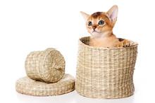 Red Kitten Abyssinian Cat Play...