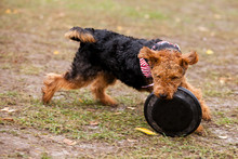 Welsh Terrier Dog Catches Frisbee On The Field In Autumn