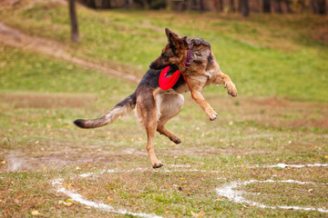 German shepherd dog catches a Frisbee in the autumn in the field
