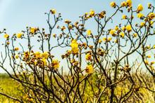 Yellow Flower Tree In Costa Rica