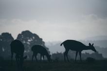 Wild Deer Grazing Grass In The...