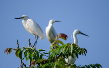 Herons Perched On Top Of A Tre...