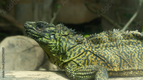 The green iguana also known as the American iguana, is a large, arboreal, mostly herbivorous species of lizard of the genus Iguana Canvas Print