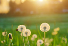 Meadow Of Dandelions To Make D...