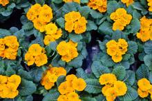 Bright Spring Primroses With L...