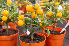 Citrus Fruits Ripen On A Minia...