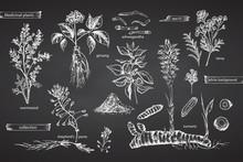 Set Vintage Hand Drawn Sketch Medicine Herbs Elements Isolated On Black Chalk Board Background. Wormwood, Turmeric, Tansy, Ashwagandha, Shepherds, Purse, Ginseng. Graphic Illustration Art.