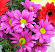 canvas print picture - Bouquet of bright magenta chrysanthemums and red gerberas, floral arrangement, floral background.