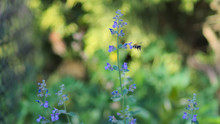 Bumblebee Next To Catnip Flowers