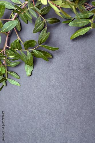 Fototapeta Branch with green leaves of a tree on a black background. copy space obraz na płótnie
