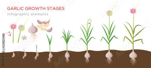Fototapeta Garlic plant growign stages from deeds, garlic sets to ripe garlic - set of botanical detailed infographic elements vector illustrations isolated on white background. obraz