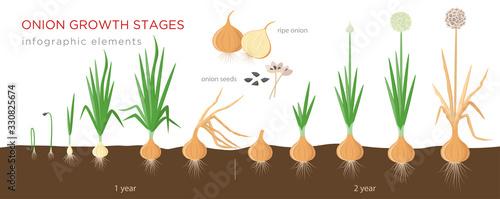 Photo Onion plant growing stages from seeds to ripe onion - two year cycle development of onion - set of botanical detailed infographic elements, vector illustrations isolated on white background