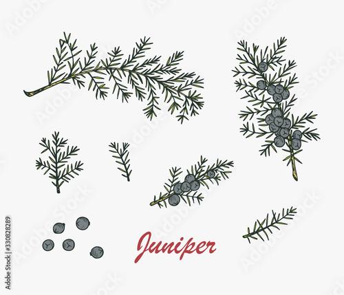 Fototapeta Medicinal plants Set. Hand Drawn Juniper branch, Leaves and Berries. Alternative medicine. Biological additives are. Traditional herbal therapy. Vector illustration obraz