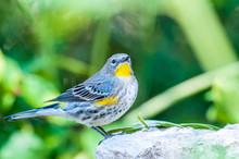 Yellow-rumped Warbler Audubon'...
