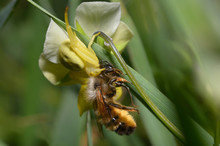 A Yellow Flower Spider Eating Wild Bee