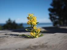 Yellow Flower Growing Between ...