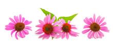 Pink Coneflowers (echinacea)
