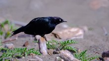 Low Angle Of Brewers Blackbird...