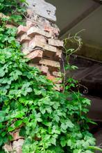 Green Hop Plant Climbing On Br...