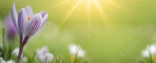 Fotografie, Obraz Spring awakening - Blossoming purple white crocuses on a green meadow illuminate