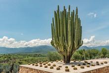 Massive Saguaro Cactus  Green ...