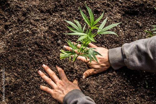 Fototapeta Marijuana Farm Industry - weed and commercial cannabis obraz