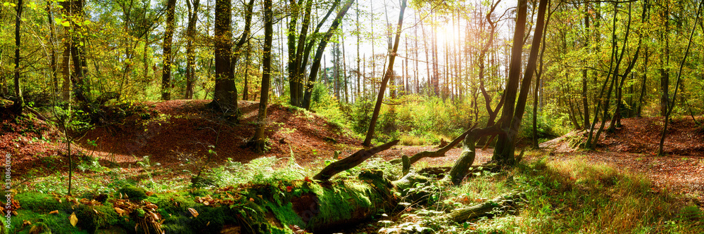 Fototapeta Forest panorama in autumn with bright sun shining through the trees