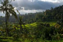Terraced Rice Paddy Fields Glo...